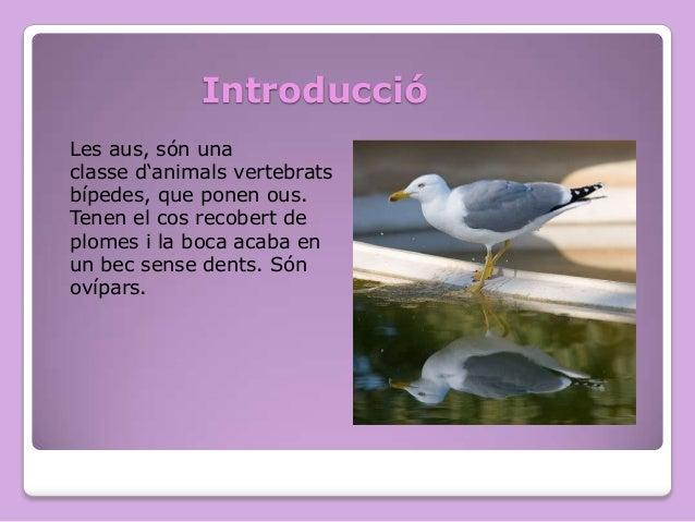 Introducció Les aus, són una classe d'animals vertebrats bípedes, que ponen ous. Tenen el cos recobert de plomes i la boca...