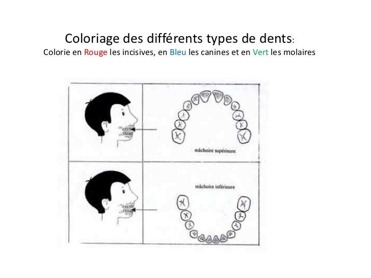 Coloriage des différents types de dents:Colorie en Rouge les incisives, en Bleu les canines et en Vert les molaires       ...