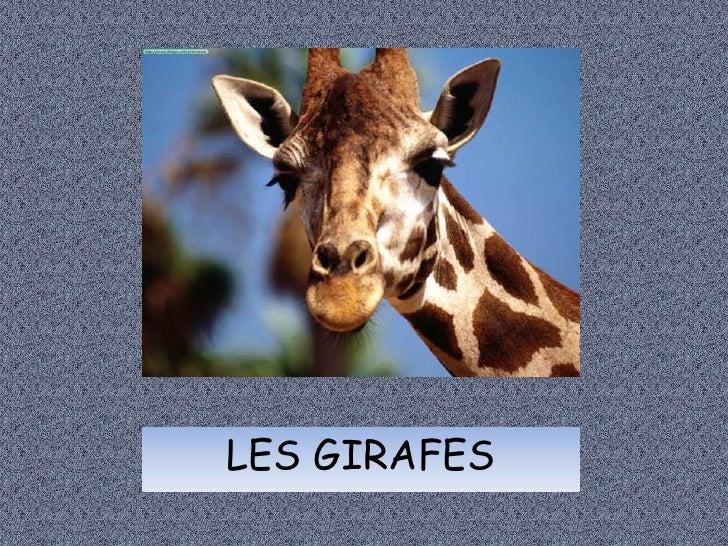 LES GIRAFES<br />