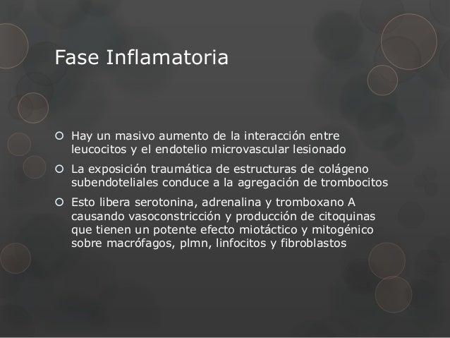 Fase Inflamatoria Hay un masivo aumento de la interacción entre  leucocitos y el endotelio microvascular lesionado La ex...