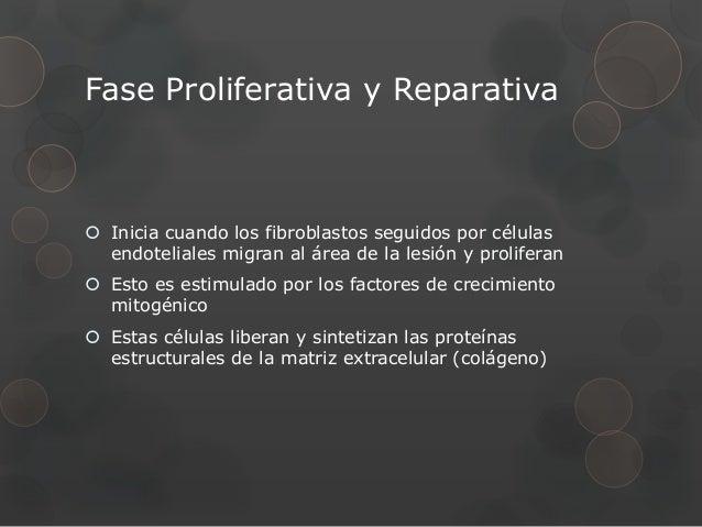 Fase Proliferativa y Reparativa Inicia cuando los fibroblastos seguidos por células  endoteliales migran al área de la le...