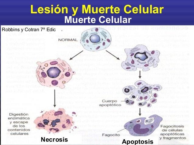 Resultado de imagen de Muerte celular natural