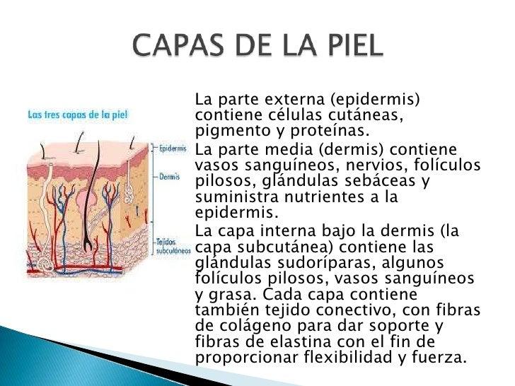 Hermosa Capa Más Interna De La Piel Molde - Anatomía de Las ...