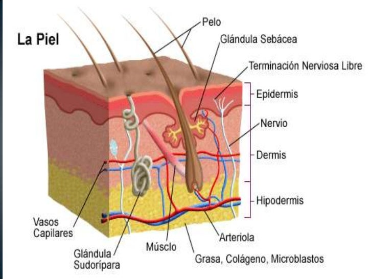 • Dermatosis: Es toda alteración de la normalidad de la  piel, independientemente de su causa• Dermatitis: Alteración de l...