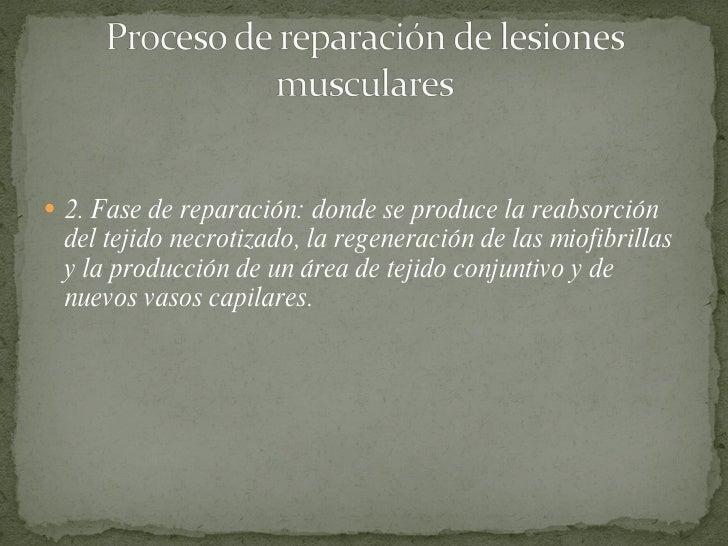 <ul><li>2. Fase de reparación: donde se produce la reabsorción del tejido necrotizado, la regeneración de las miofibrillas...