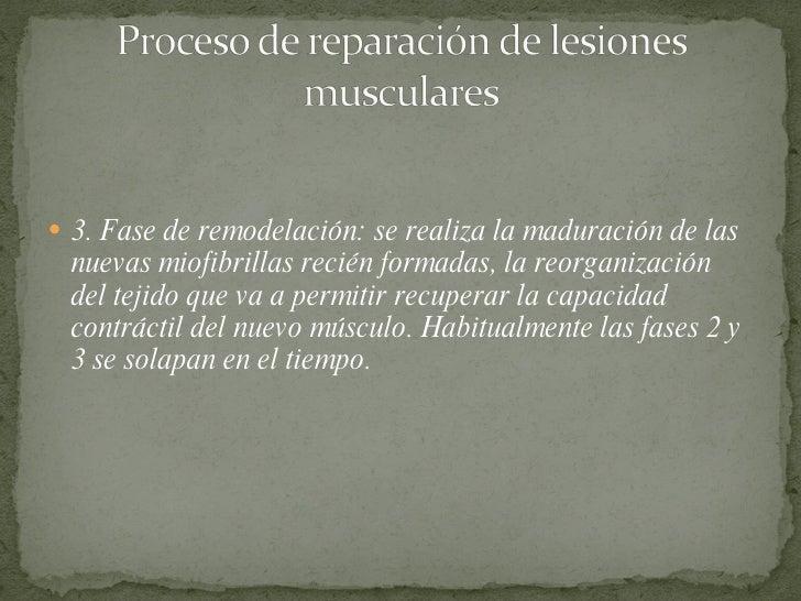 <ul><li>3. Fase de remodelación: se realiza la maduración de las nuevas miofibrillas recién formadas, la reorganización de...