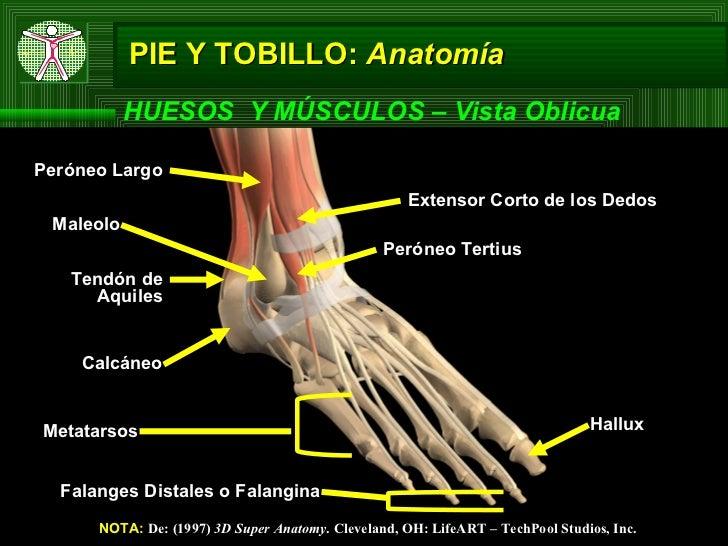 Famoso Nombre Hueso Del Tobillo Regalo - Anatomía de Las Imágenesdel ...
