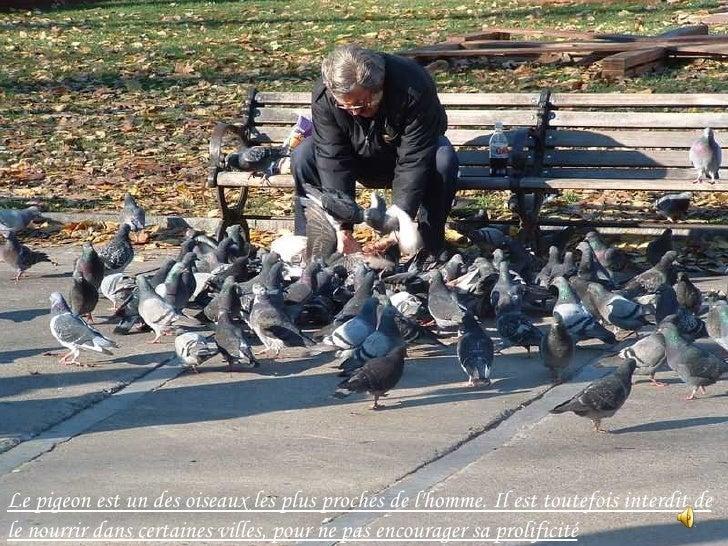 Le pigeon est un des oiseaux les plus proches de l'homme. Il est toutefois interdit de le nourrir dans certaines villes, p...
