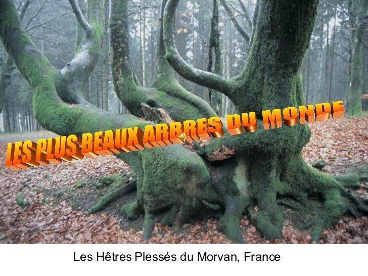 Les Hêtres Plessés du Morvan, France