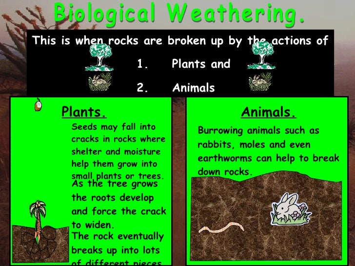 what is an example of biological weathering