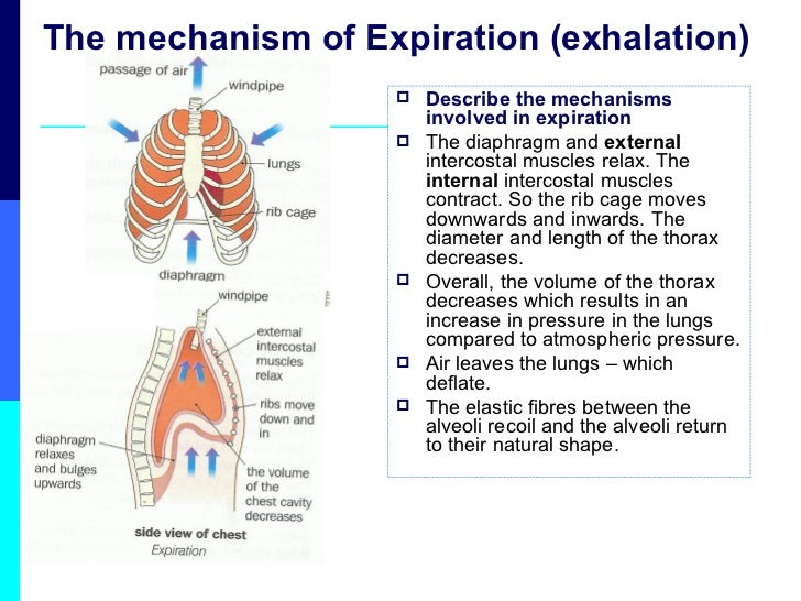 Lesson 5 Mechanisms Of Ventilation