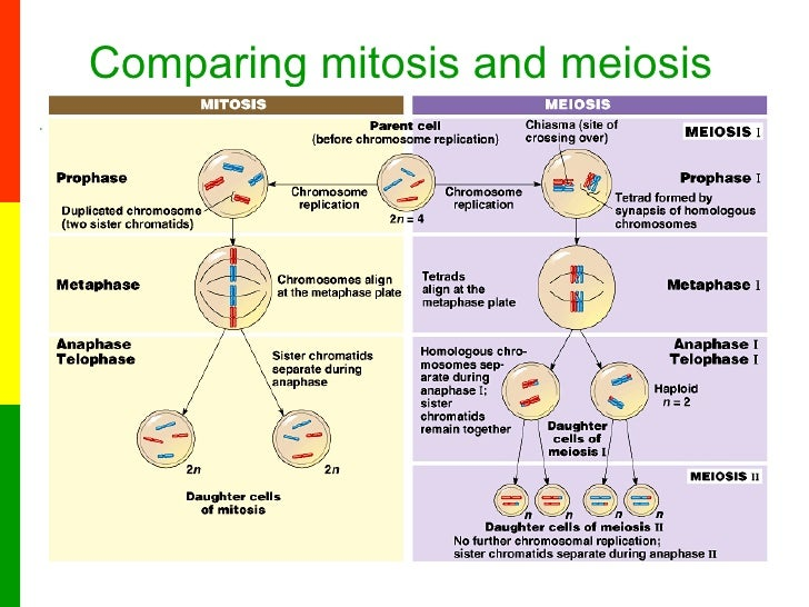 Lesson 6a The Stages Of Meiosis