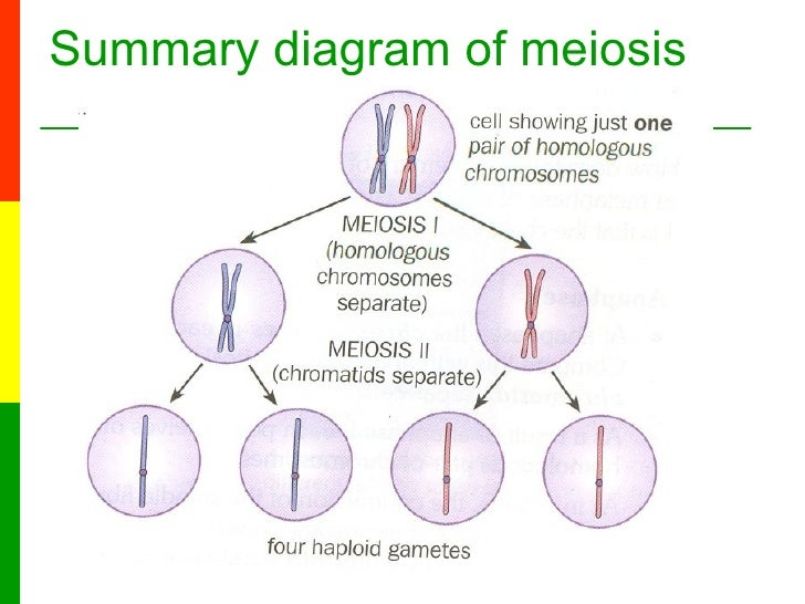 6a the stages of meiosis 7 summary diagram of meiosis ccuart Image collections