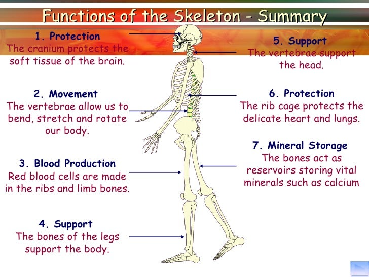 Lesson 1 Skeletal System