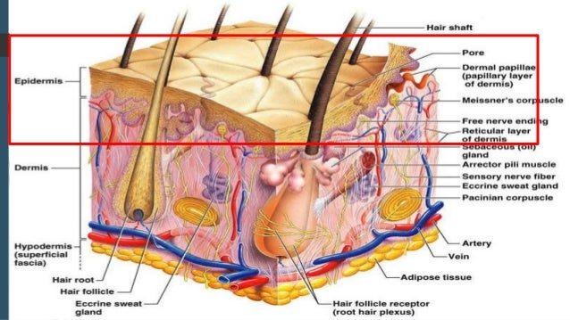 Lesson 12 integumentary system
