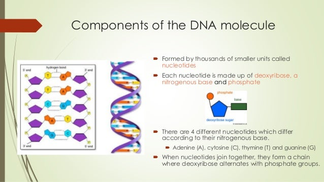 lesson 13 the dna molecule