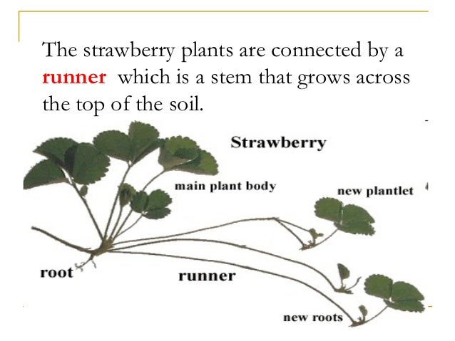 How do strawberry plants reproduce asexually