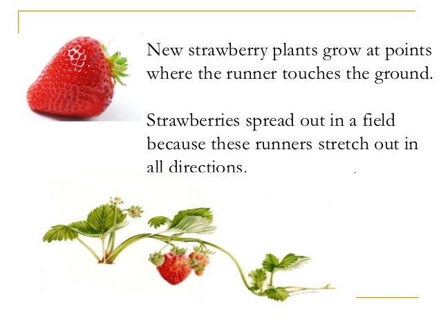 Advantages of asexual reproduction in strawberry plants