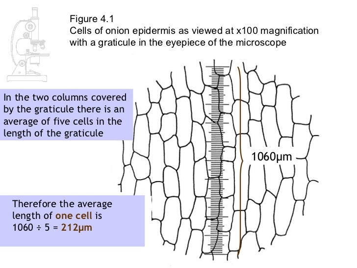 AS Biology Lesson 2 - Measuring Cells
