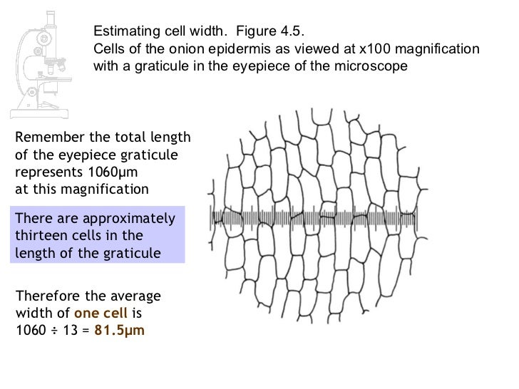 Strange Thermal Conductivity Of Leaves moreover Rootlec likewise Watch in addition Activities Using Microscope as well Microscope 33464673. on onion epidermal cell labeled