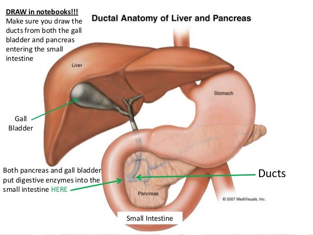 Which Of The Following Is An Accessory Organ Of Digestion Gorgeous Digestive System Accessory Organs
