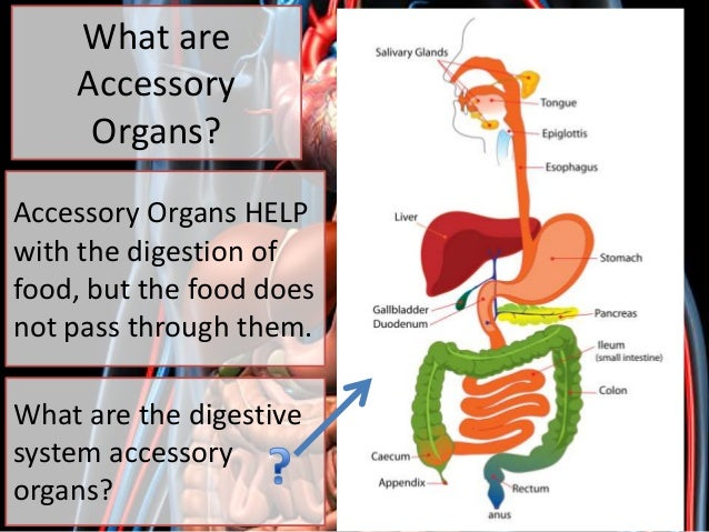 Which Of The Following Is An Accessory Organ Of Digestion Enchanting Digestive System Accessory Organs
