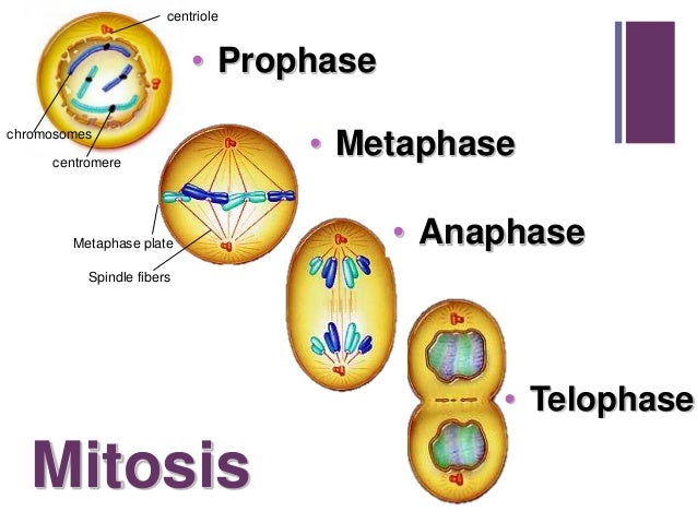 Prophase Prometaphase Metaphase Anaphase Telophase Cell Cycle