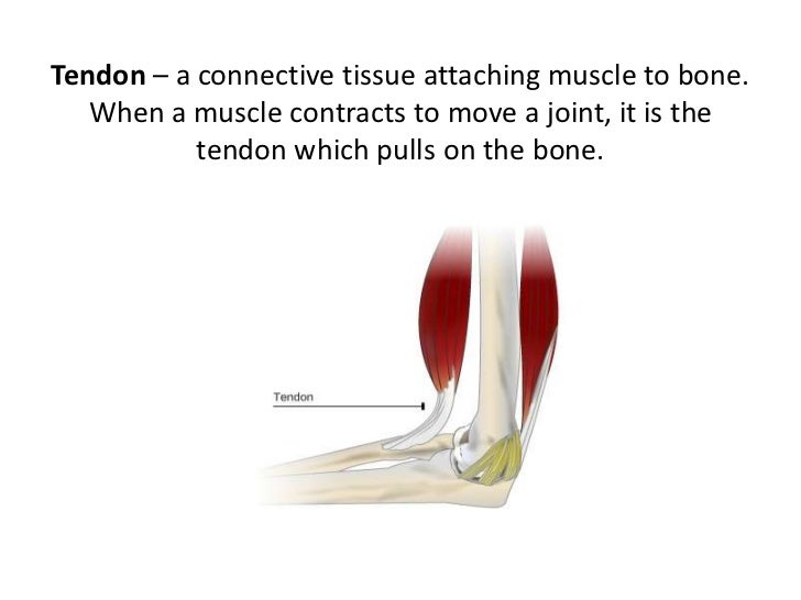 Lesson 2 tendons, ligaments, cartilage and joints