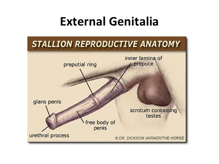 Stallion Reproductive System Anatomy