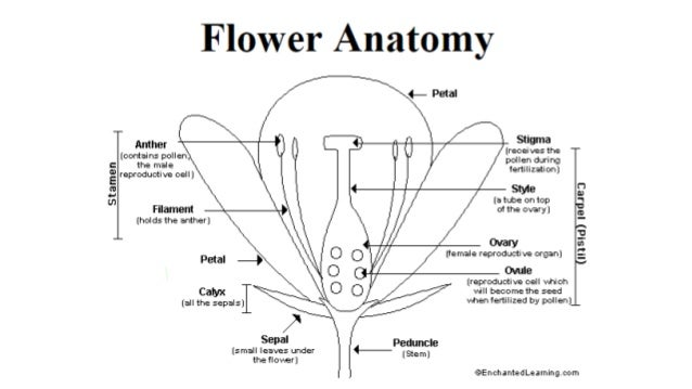 Lesson 3 deep into the plant life cycles jasmine flower dissection samvaad nd ccuart Image collections