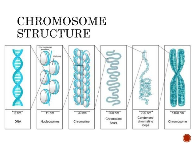 Lesson 3 nucleus dna-chromosomes