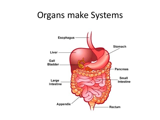 organization of the human body The structural organisation of the human body is very easy ie the general and basic structure cells form tissues form organs form organ systems form.
