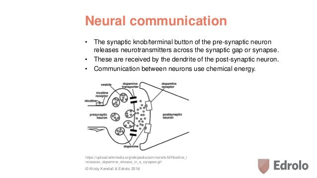 Lesson 4 the neuron 19 neural communication ccuart