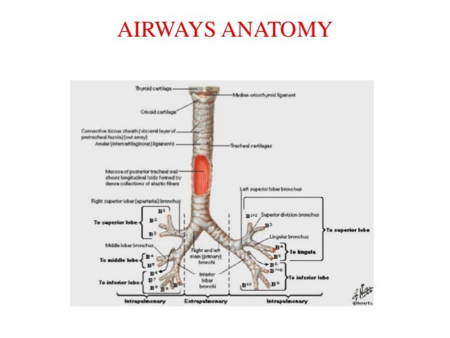 airways and lungs