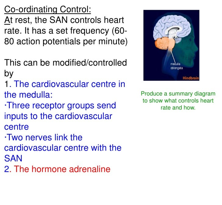 Lesson 5 Control Of Heart Rate In Humans Me