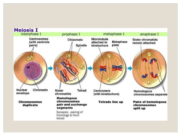 Lesson 6 meiosis meiosis 19 ccuart Image collections