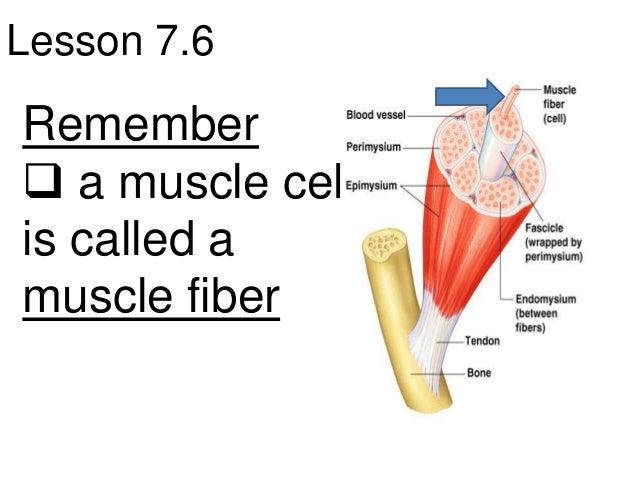 Lesson 7.6Remember a muscle cellis called amuscle fiber