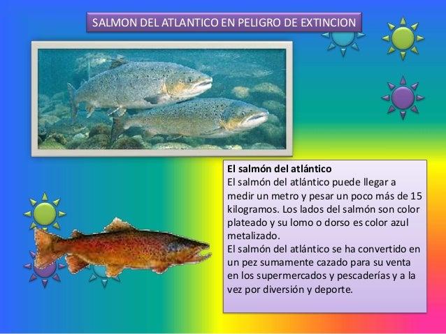 SALMON DEL ATLANTICO EN PELIGRO DE EXTINCION                      El salmón del atlántico                      El salmón d...