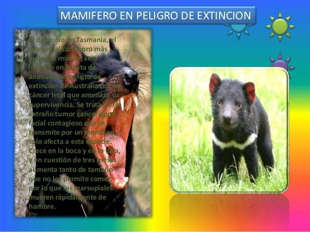 MAMIFERO EN PELIGRO DE EXTINCIONEl demonio de Tasmania, elmarsupial carnívoro másviejo del mundo, seráincluido en la lista...