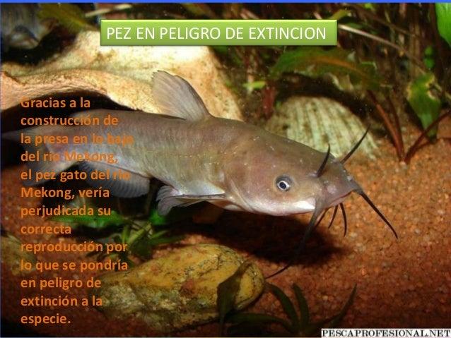 PEZ EN PELIGRO DE EXTINCIONGracias a laconstrucción dela presa en lo bajodel río Mekong,el pez gato del ríoMekong, veríape...