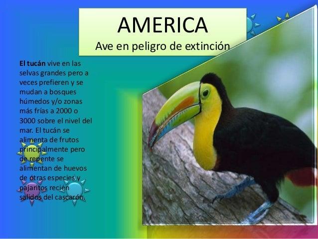 AMERICA                          Ave en peligro de extinciónEl tucán vive en lasselvas grandes pero aveces prefieren y sem...