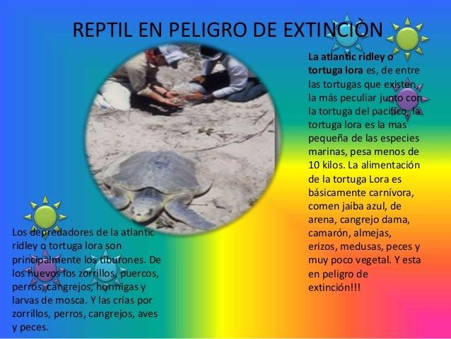 REPTIL EN PELIGRO DE EXTINCIÒN                                     La atlantic ridley o                                   ...