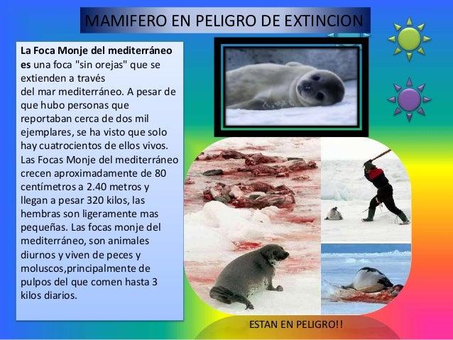 """MAMIFERO EN PELIGRO DE EXTINCIONLa Foca Monje del mediterráneoes una foca """"sin orejas"""" que seextienden a travésdel mar med..."""