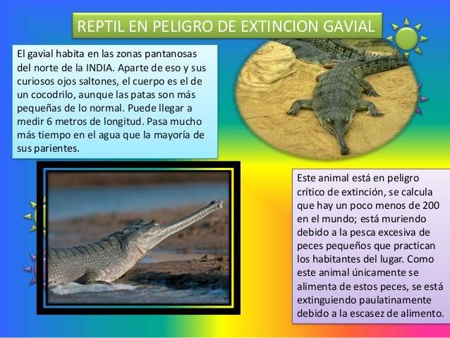 REPTIL EN PELIGRO DE EXTINCION GAVIALEl gavial habita en las zonas pantanosasdel norte de la INDIA. Aparte de eso y suscur...