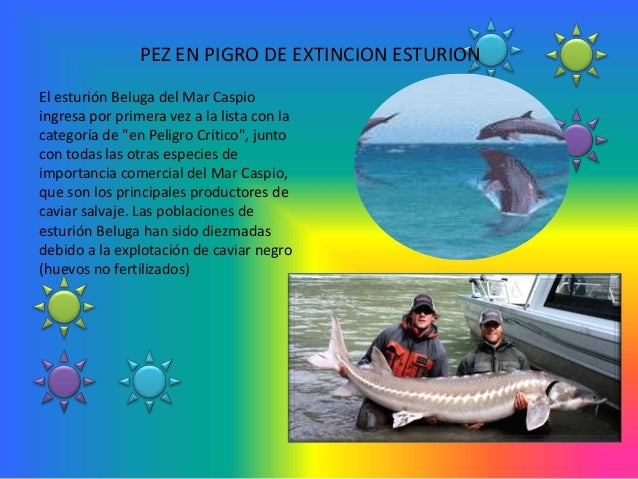 """PEZ EN PIGRO DE EXTINCION ESTURIONEl esturión Beluga del Mar Caspioingresa por primera vez a la lista con lacategoría de """"..."""