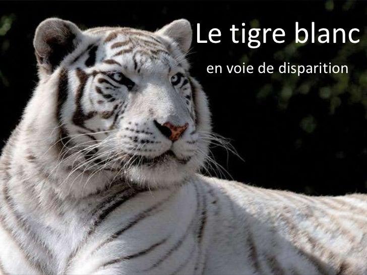 Le tigre blancen voie de disparition