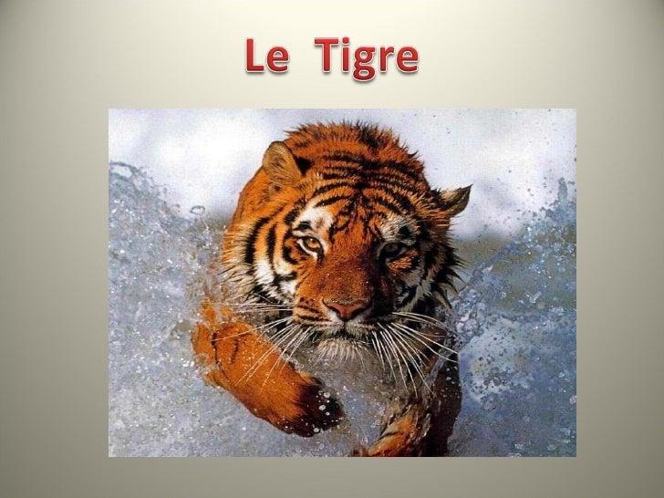• Le tigre est un félidé de nature crépusculaire et   nocturne. Sa vue dans l'obscurité est excellente. Le fait   qu'il pe...