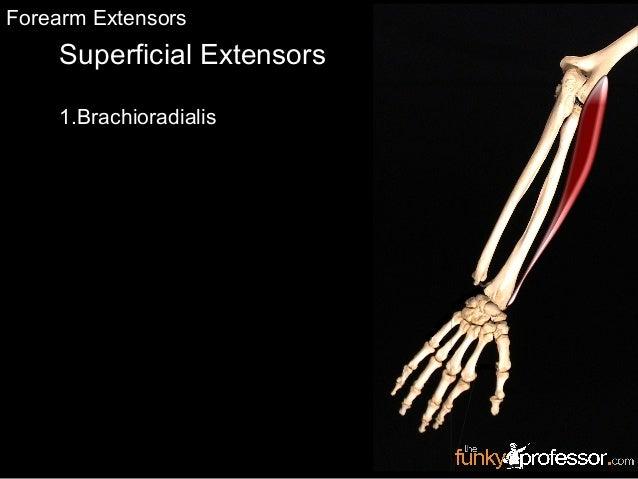Superficial Extensors 1.Brachioradialis Forearm Extensors