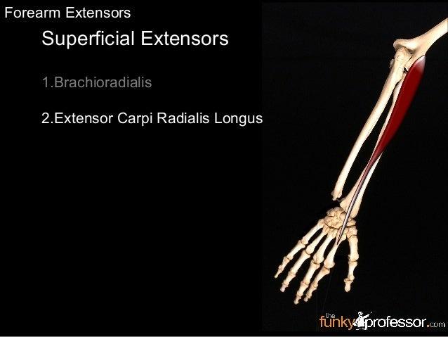 Superficial Extensors 1.Brachioradialis 2.Extensor Carpi Radialis Longus Forearm Extensors