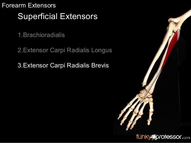 Superficial Extensors 1.Brachioradialis 2.Extensor Carpi Radialis Longus 3.Extensor Carpi Radialis Brevis Forearm Extensors